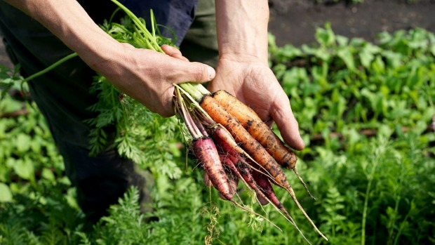 The carrots at Fat Pig Farm clock up 20 centimetres in food miles.