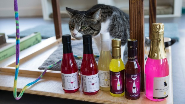 Elsa the cat sniffs the 'wine' before the taste test.