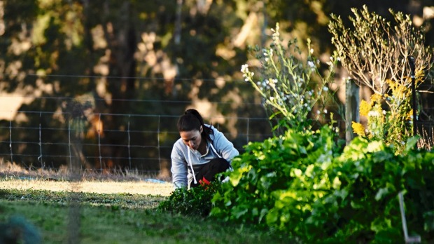 A staff member picking ingredients from the kitchen garden.