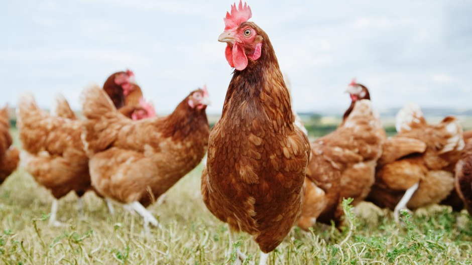 free range chicken language analysis Change language view your main task in this game is to collect chicken eggs to view reviews within a date range.