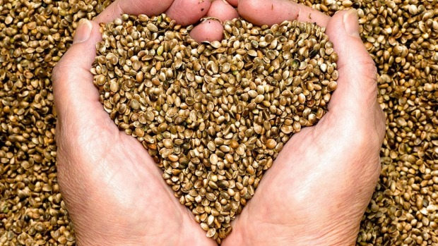 Unhulled hemp seeds.