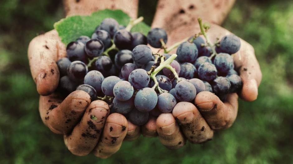 """I want to drink wine made by small producers who work the fields."" A farmer's hands with freshly harvested black grapes."