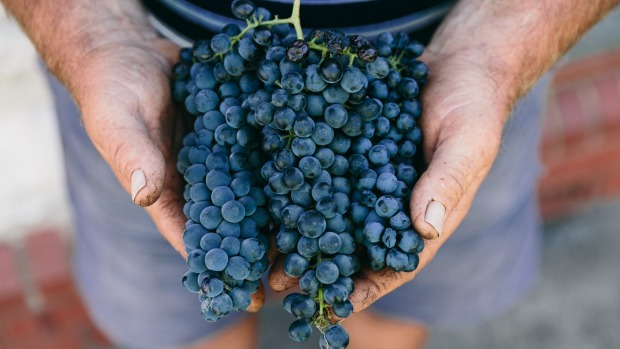 Barossa Valley grapes at Peter Lehmann Wines.