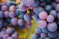 Victoria has become the home of pinot noir in Australia.