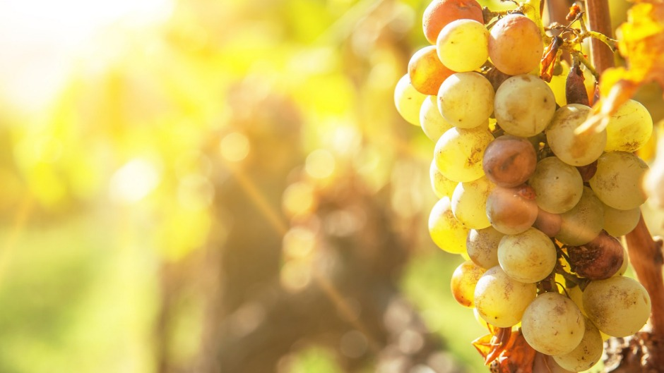 Botrytised grapes in the sunshine.