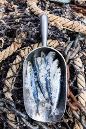 Victorian sardines, also known as bloaters, blue bait and mulies, depending on where in Australia you are fishing for them.
