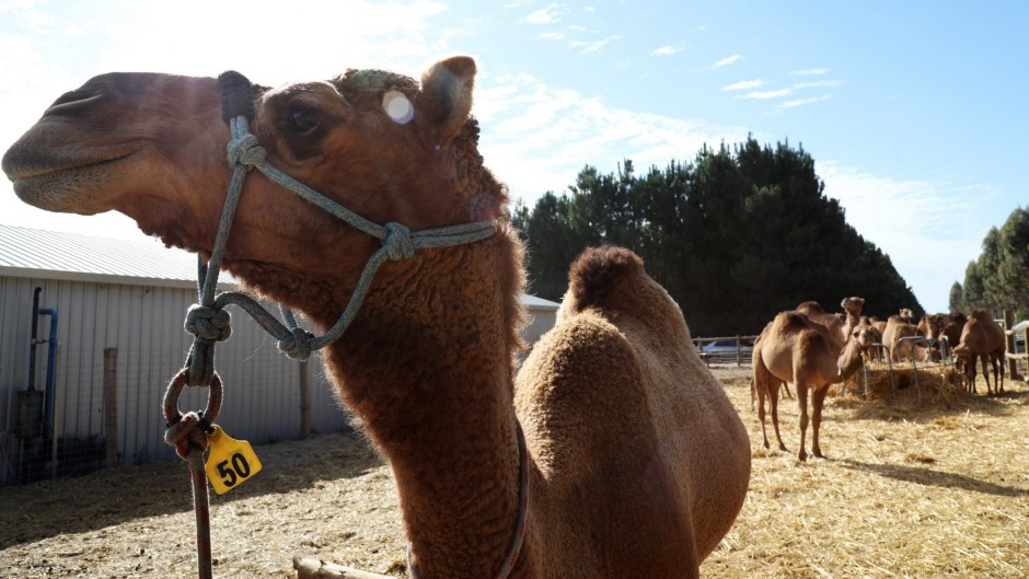 Camels stand in a pen at the Good Earth Dairy camel dairy farm.