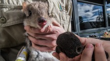 Brian the truffle-eating bettong at the launch of the 2018 Canberra Truffle festival.