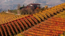 Rows of autumnal vines on the hillside in Piedmont, northern Italy.