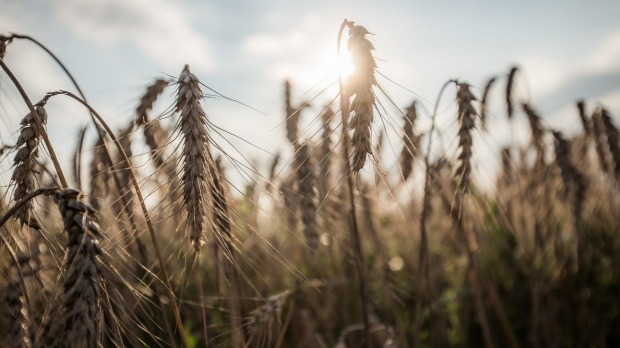 For most people, wheat is a nutritious food