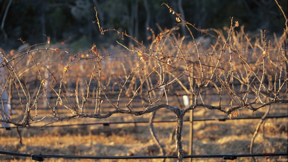 Brass-monkey weather: Winter vines at Felsberg.