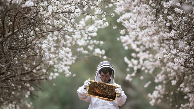 Ben Goldsworthy of Beechworth Honey, at an almond farm. Bees play an important role in pollination.