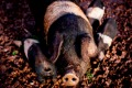 Wessex saddleback pigs at Mount Gnomon farm, Tasmania.