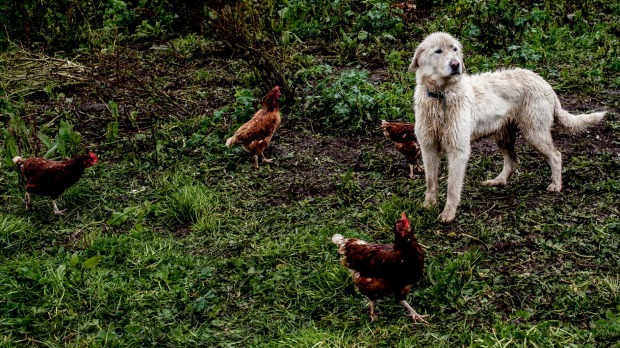 A Maremma guards the chickens at Mount Roland farm in Tasmania.