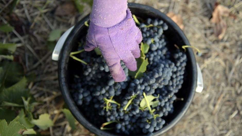 Harvested shiraz grapes at Henschke's Hill of Grace vineyard in Eden Valley, South Australia.