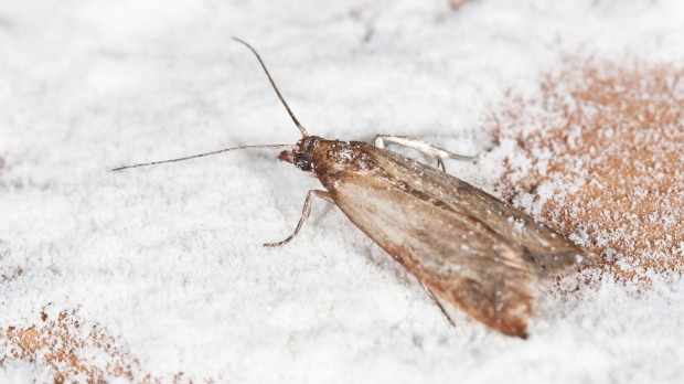 How To Get Rid Of Pantry Moths And What Happens If You Accidentally Eat One
