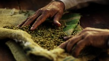 Sustainable coffee is organic and shade-grown.
