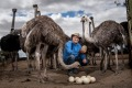 Michael Hastings on his ostrich farm near Winchelsea.