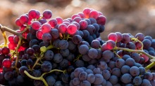 Harvested red grenache grapes during vintage.