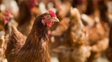 While free-range can be a good option, a quality indoor environment for chickens is more important.