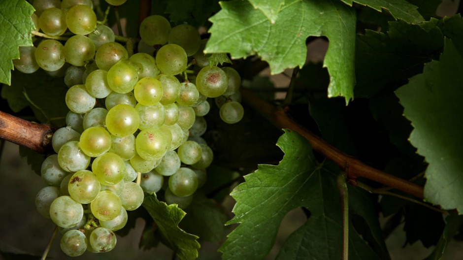 Chardonnay is the second most widely planted grape variety in Australia, after shiraz.