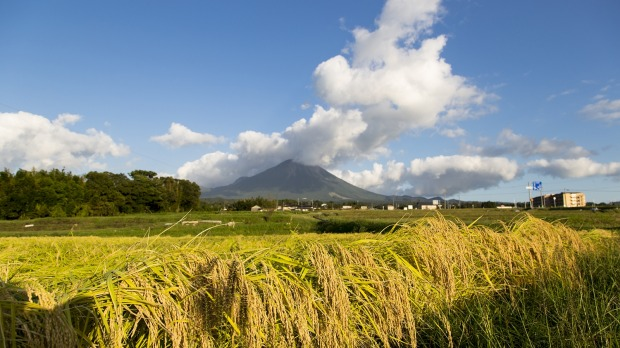 Sake rice fields in front of Mount Daisen, Tottori Prefecture.