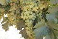 Vermentino grape wines are becoming more popular.      Pics by Jane  Faulkner.          The information  contained in ...