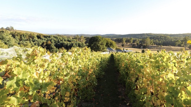 Autumn in the vineyards at Apogee in Lebrina, Tasmania.