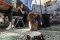 Jinkee the poodle (@lifeofjinkee) settles in for a treat at Grub Cafe in Fitzroy, with owner Sofia Levin.