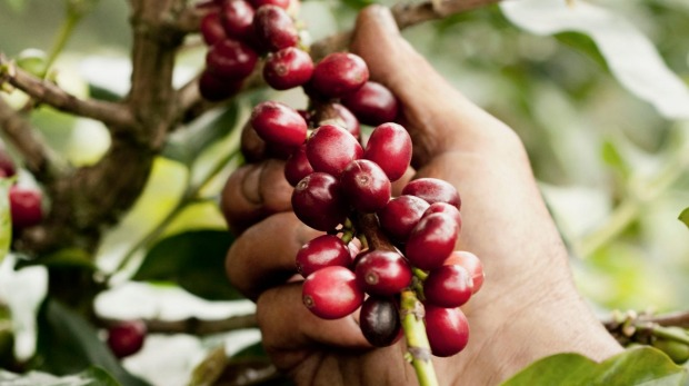 A farmer harvesting coffee beans.