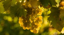 Semillon and sauvignon blanc have a long history together.