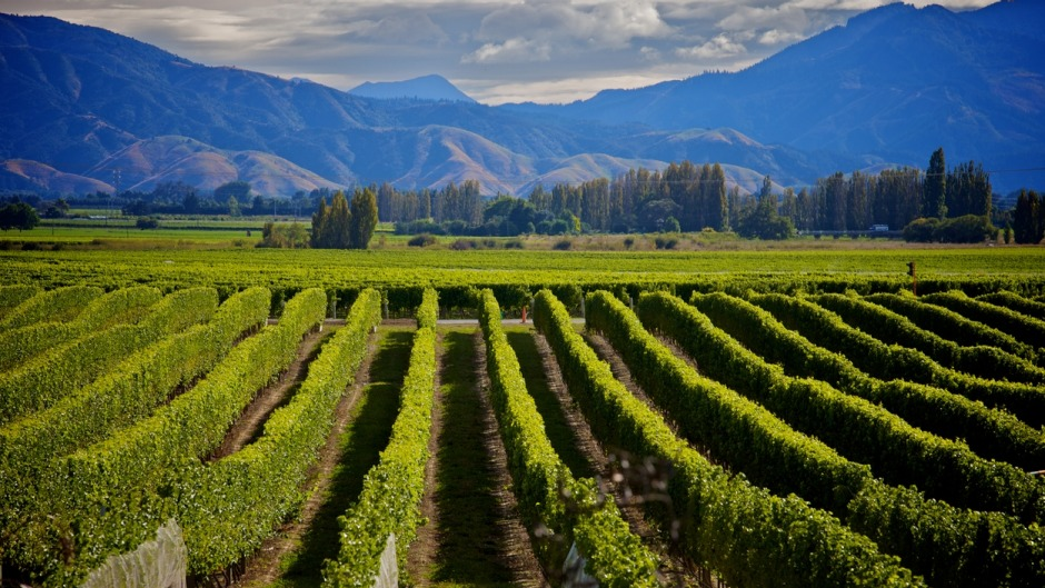 Sauvignon blanc has put the Marlborough region of New Zealand on the world wine map.