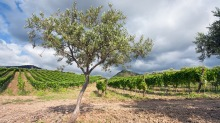 An olive tree and vineyard on a gentle slope in the Etna region, Sicily.