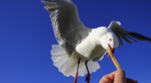 Research shows that with a human staring at them seagulls took longer to approach a bag of chips.