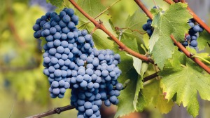 Piedmont's famous red grape, nebbiolo.