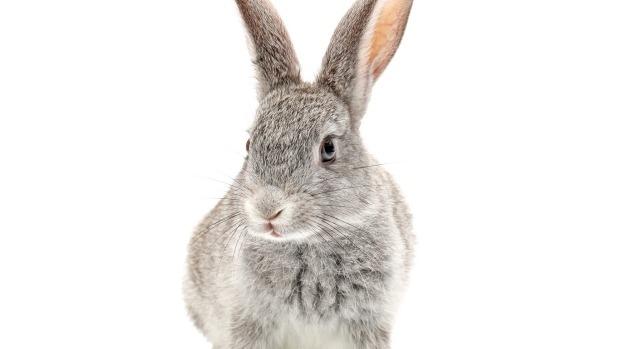 Baby Bunny isolated on white Isolated rabbit. iStock image downloaded under the Good Food team account (contact ...
