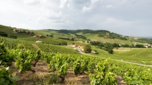Gamay is famous as the only permitted grape in France's Beaujolais.