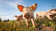 Could African swine fever jump the Timor Sea?