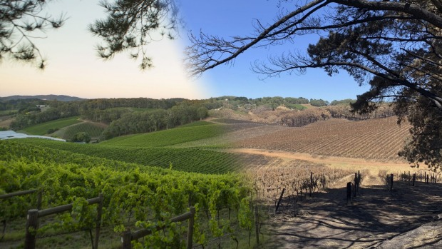 Henschke's vineyard inLenswood before and after the bushfires.
