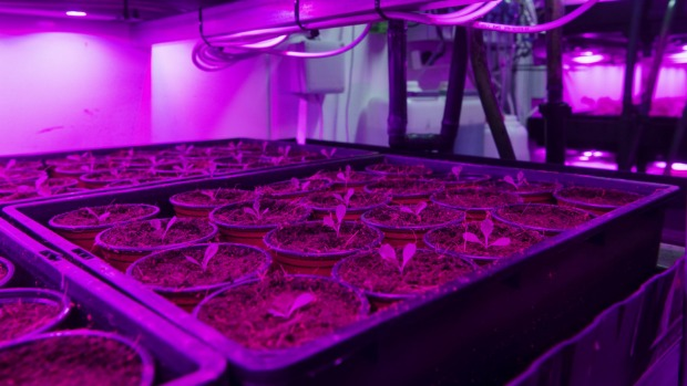 Salad greens under light optimised to encourage plant growth.