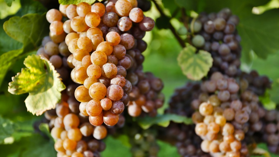 Pinot gris is a highly adaptable grape.