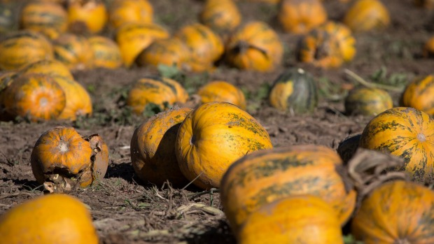 At Pepo Farms, pumpkins are farmed for their edible seeds.