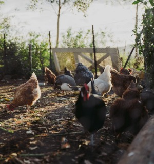 Backyard chickens supply the eggs at Milk Haus.