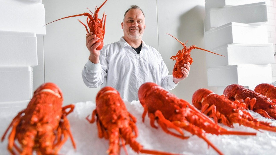 "James Marinopoulos of Red Coral Seafoods with his ""lobsterpalooza"" supply of Victorian crays."
