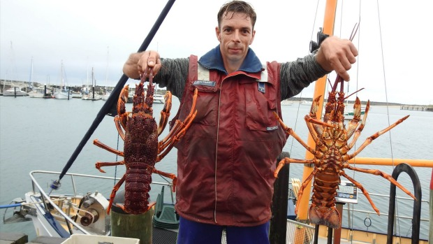 Southern rock lobster fisher, Glenn Fisk, holding a prized crayfish catch in Apollo Bay.