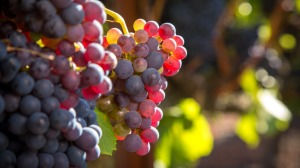 Rhone grape varieties such as grenache have made themselves right at home in Australia.