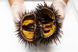 When buying or fishing for sea urchins, look for individuals that are heavy for their size.