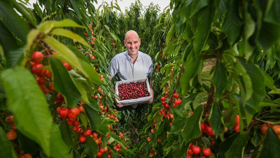 Stephen Riseborough, director of CherryHill Orchards, says weather has been favourable for bumper year for cherries.