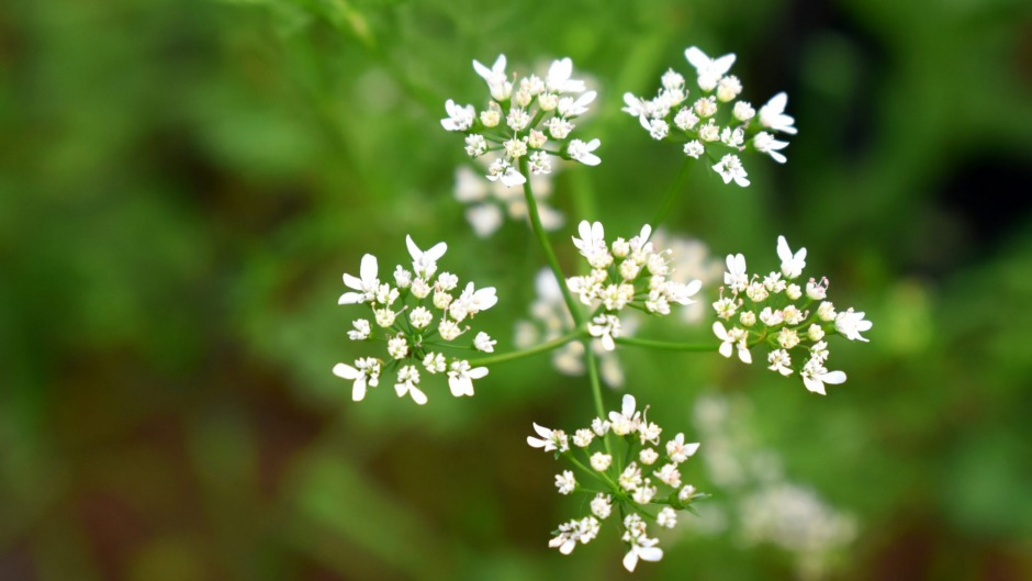 All parts of the coriander plant are edible, including the flowers.