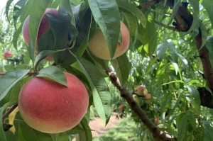 The trees are ripe for the picking at Glenbernie Orchard.